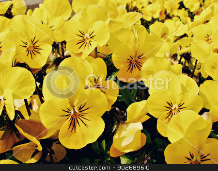 pansy  stock photo, pansy flowers  by budastock
