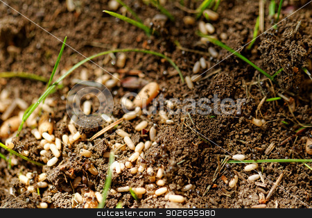 ant eggs stock photo, in the anthill moving ants the eggs by Jozsef Demeter