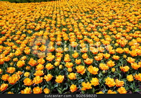 Rug of tulips stock photo, Cultivation of yellow tulips in Italy by willeye
