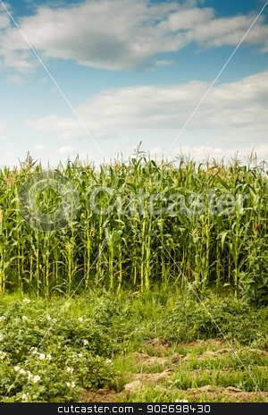 Green maize field stock photo, Green maize field under a blue sky with some clouds by Grafvision