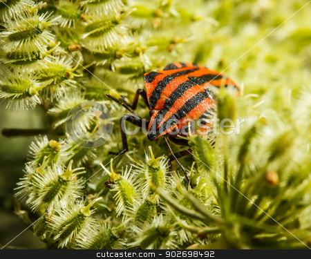 Bedbug stock photo, Black and red bedbug on wild carrot flower  by Grafvision