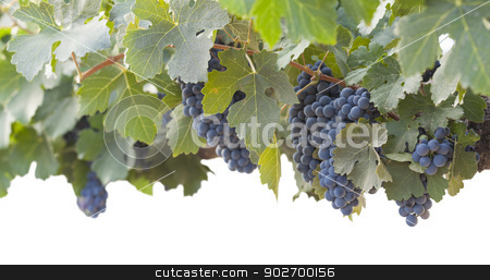 Beautiful Lush Grape Bushels and Vines on White stock photo, Beautiful Lush Grape Bushels and Vines on a White Background. by Andy Dean