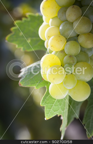 Lush White Grape Bushels Vineyard in The Morning Sun stock photo, Beautiful Lush White Grape Bushels Vineyard in The Morning Sun by Andy Dean