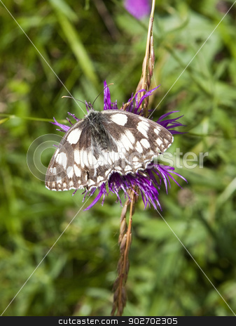 marbled white butterfly stock photo, a marbled white butterfly latin name melanargia galanthea feeding on a knapweed flower by Mike Smith