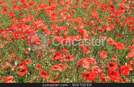 Field of red poppy flowers stock photo, Field of red poppy flowers, summer scene. by Martin Crowdy