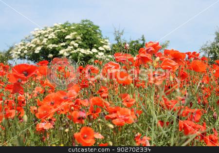 Field of red poppy flowers stock photo, Field of red poppy flowers in bloom, summer scene. by Martin Crowdy