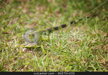 Curious Iguana in the Grass stock photo, Curious Green carribean Iguana well camoflauged in grass by Scott Griessel