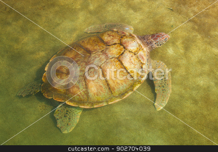 Carribean Sea Turtle Swimming stock photo, Large Carribean Sea Turtle near beach below water surface by Scott Griessel