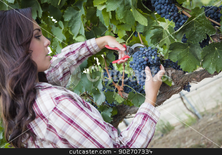 Young Mixed Race Woman Harvesting Grapes in Vineyard stock photo, Young Mixed Race Woman Harvesting Grapes in the Vineyard Outside. by Andy Dean