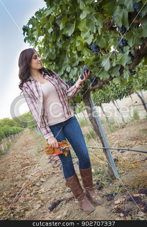 Young Female Farmer Inspecting the Grapes in Vineyard stock photo, Young Mixed Race Female Farmer Inspecting the Wine Grapes in the Vineyard. by Andy Dean