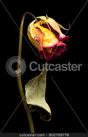 Aging beauty stock photo, A drying and aging beautiful yellow rose with red edged petals by derejeb
