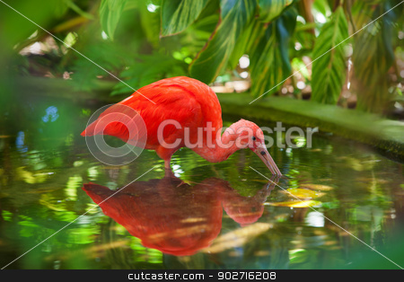 Hungry Scarlet Ibis stock photo, Hungry Carribean Scarlet Ibis searching for food in water by Scott Griessel