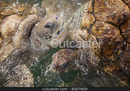 Carribean Sea Turtles stock photo, Large Carribean Sea Turtles at the surface of the ocean by Scott Griessel