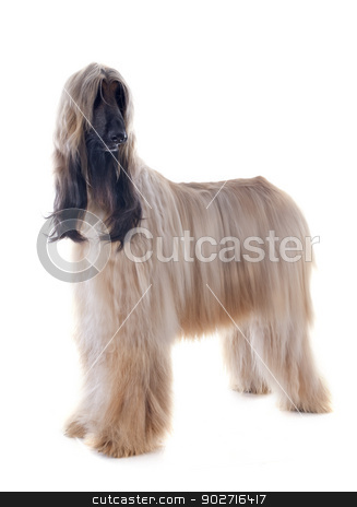 afghan dog stock photo, afghan hound in front of white background by Bonzami Emmanuelle