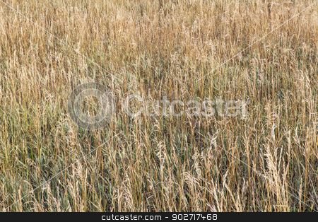 grass meadow in late summer stock photo, background of dry tall grass in late summer in Colorado by Marek Uliasz