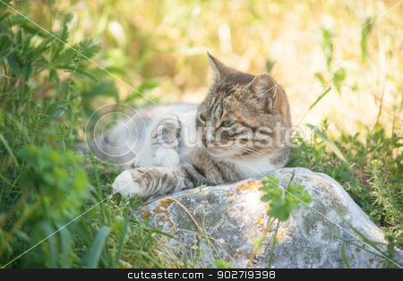 grey cat is enjoying nature stock photo, grey cat is enjoying nature by Alexey Kozak