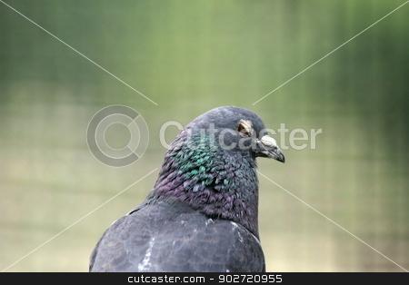 shy pigeon portrait stock photo, portrait of a shy pigeon at an animal farm by coroiu octavian