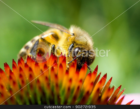 Bee on echinacea flower. stock photo, Bee on echinacea flower. by Oleksiy Fedorov