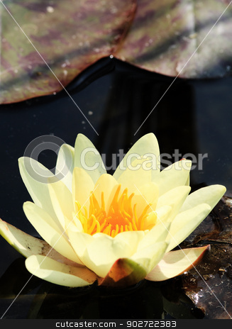 Yellow water lily stock photo, Yellow water lily on the lake by Nneirda