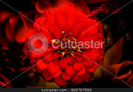 Red Zinnia Astereaceae Blooming Black Background stock photo, Red Zinnia Astereaceae Petals Blooming in Seattle Washington. by William Perry
