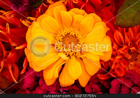 Yellow Zinnia Astereaceae Blooming Bouquet Black Background stock photo, Yellow Zinnia Astereaceae Petals Bouquet Blooming by William Perry