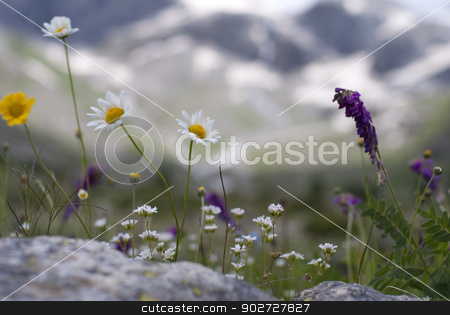 beautifull flowers in mountains stock photo, beautifull flowers in mountains by Alexey Kozak