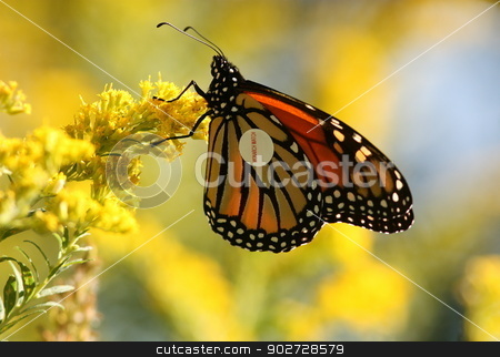 Monarch butterfly with label stock photo, A beautiful orange and black Monarch butterfly wearing a tag. It rests on flowers before migrating from Canada to Mexico by Sue Bishop