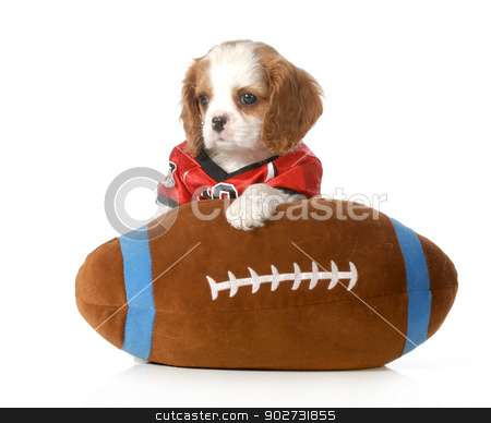 sports hound stock photo, sports hound - cute cavalier king charles spaniel puppy dressed up like a football player with stuffed toy football - 7 weeks old by John McAllister