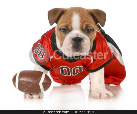 football dog stock photo, football dog - english bulldog puppy wearing football jersey isolated on white background - 7 weeks old by John McAllister