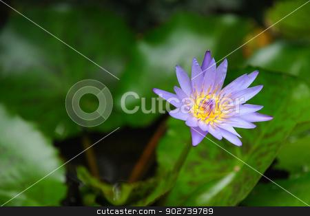 Lotus stock photo, A beautiful lotus in summer by narathorn
