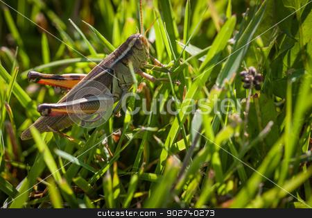 grass hopper in grass stock photo, large grass hopper sitting in tall green grass by Adam Filipowicz