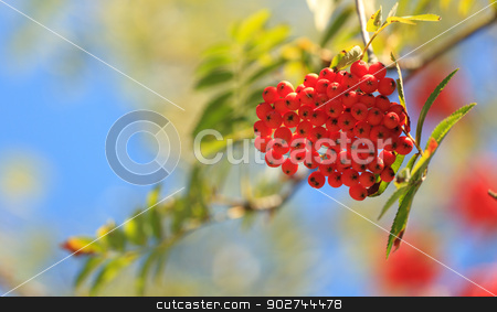 Rowanberries in early autumn. stock photo, Bright cluster of rowanberries with copy space in early autumn by Natalia Macheda