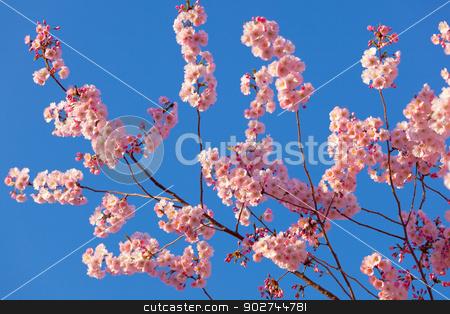 Spring sakura blossom stock photo, Colorful scene of tender sakura blossom against blue sky by Natalia Macheda