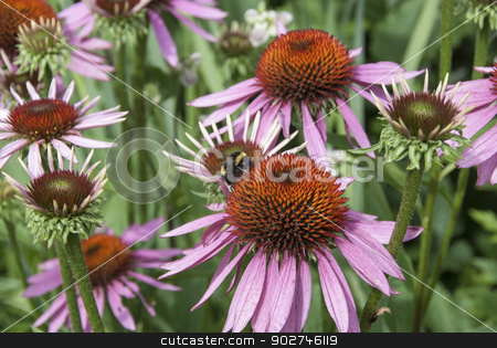 Echinacea Flower stock photo, A Closeup of an Echinacea Flower used in Alternative Medicine with a Bee feeding on it by d40xboy
