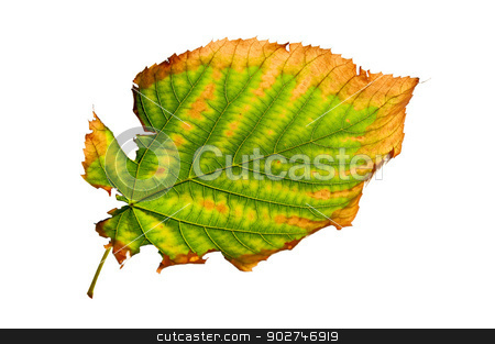 Isolated Ragged Leaf stock photo, Ragged autumn leaf isolated on a white background by benjaminlion