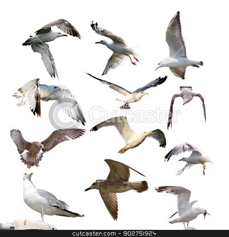 collection of isolated gulls stock photo, collection of gulls ( larus argentatus )  isolated over white background by coroiu octavian
