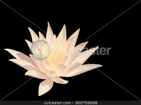 White water lily stock photo, White water lily isolated on black by ArtesiaWells