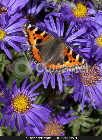 small tortoiseshell butterfly stock photo, a small tortoiseshell butterfly latin name aglais urticae feeding on colorful purple and yellow aster flowers by Mike Smith