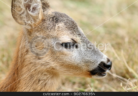 closeup portrait of a baby roe deer stock photo, closeup portrait of a roe deer calf ( capreolus )  by coroiu octavian