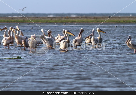 flock of pelicans standing  in shallow water stock photo, flock of great white pelicans ( pelecanus onocrotalus ) standing in the shallow waters at Meleaua, Danube Delta by coroiu octavian