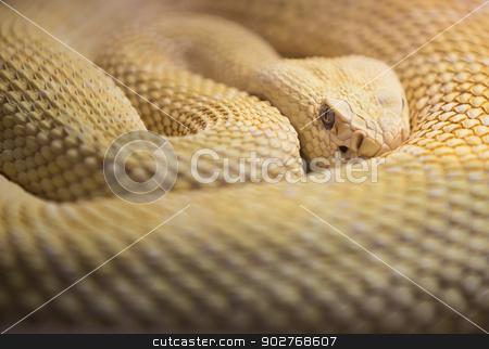 Albino Western Diamond Back Rattlesnake stock photo, Watchhful Albino Western Diaomnd Back Rattlesnake by Scott Griessel