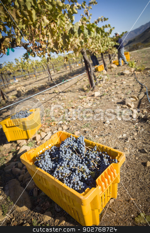 Workers Harvest Ripe Red Wine Grapes Into Bins stock photo, Workers Harvest Ripe Red Wine Grapes Into Bins One Fall Morning. by Andy Dean