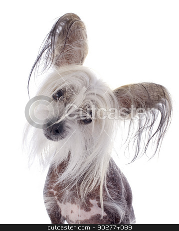 chinese crested dog stock photo, chinese crested dog in front of white background by Bonzami Emmanuelle