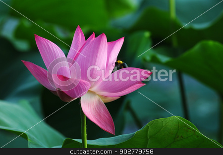 Lotus flower and plant stock photo, Lotus flower and plant in a pond by John Young