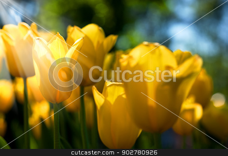 field of tulip. summer abstract backgrounds stock photo, field of tulip. summer abstract backgrounds by tolokonov
