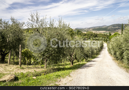 Olive trees stock photo, An image of olive trees in Tuscany Italy by Markus Gann