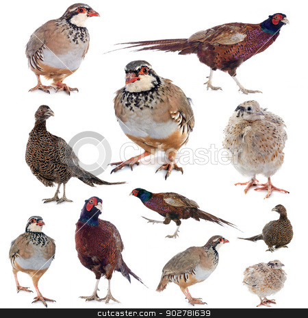 game birds stock photo, game birds in front of white background by Bonzami Emmanuelle