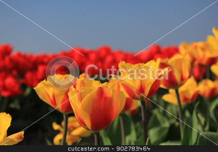 yellow and red tulips in a field stock photo, Yellow and red tulips growing in a field and a clear blue sky by Porto Sabbia