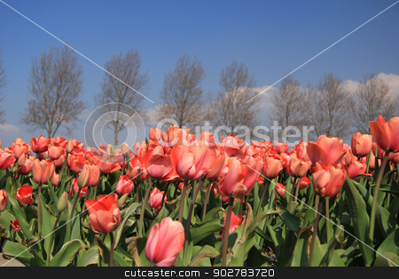 Pink tulips stock photo, Pink tulips growing on a field, flower industry by Porto Sabbia