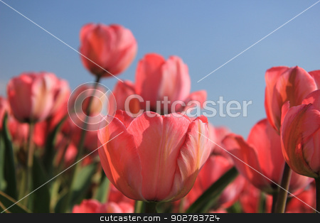 Pink tulips and a blue sky stock photo, Pink tulips growing in a field and a clear blue sky by Porto Sabbia